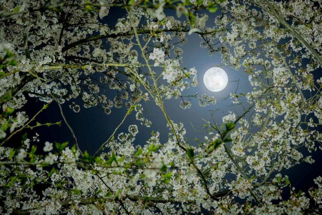 満月と夜桜